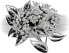 Sprig Of Elder Flowers.
