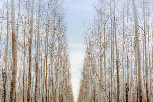 Lines throughout the tree forest  - 146102710