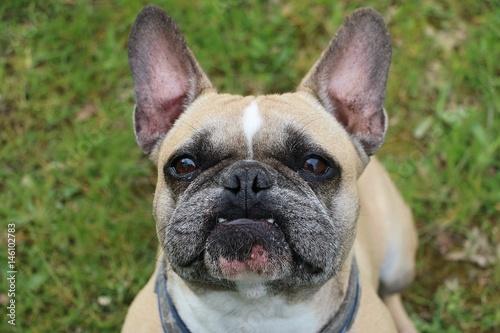 Deurstickers Franse bulldog französische bulldogge portrait