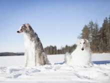 Borzoi Dogs Looking Away While...