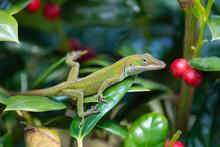Juvenile Green Anole Lizard (Anolis Carolinensis) Hiding In The Garden Shrubs