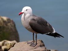 Heermann's Gull On A Rock