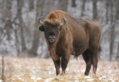 Deurstickers Bison European bison (Bison bonasus)