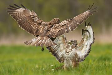 Fighting common buzzards (Buteo buteo)