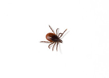 Close Up Shot Of A Tick On A White Surface. Isolated On White. Copy Space.