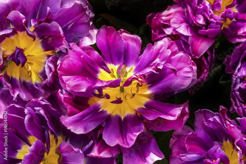 Montage in der Fensternische Violett Purple Yellow Fancy Kaufmanniana Lily Tulips Keukenhoff Lisse Holland Netherlands