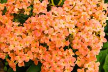 Orange Kalanchoe Flowers In Bl...