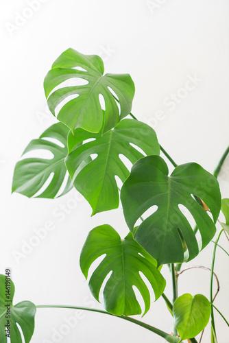 Poster Vegetal monstera plant
