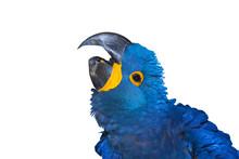 Harlequin Macaw Head Close –...