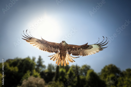 Photo Head on view of hunting Red Kite with sunlight behind