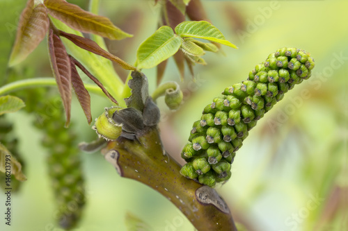 Closeup walnut inflorescence before blooming and young leaves on a branch. Selective focus. Small DOF