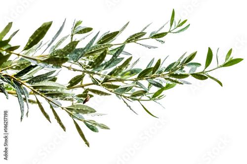 Photo sur Aluminium Oliviers rameaux d'olivier sous la pluie, fond blanc