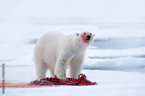 Photo Stands Polar bear White polar bear on drift ice with snow feeding kill seal, skeleton and blood, Svalbard, Norway. Bloody nature, big animal. Polar bear, carcass of seal. Ice and blue sea, white bear. Dangerous animal.