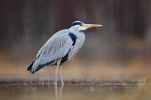 Bird In The Water. Grey Heron, Ardea Cinerea, Bird Sitting In The Green Marsh Grass, Forest In The Background, Animal In The Nature Habitat, Germany. Lake In The Forest With Bird.