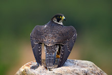 Peregrine Falcon, Sitting On The Stone. Bird Of Prey Peregrine Falcon Sitting On The Rock With Green Forest In The Background. Bird In The Nature Habitat.  Back View On Falcon With Open Wing.