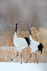 Fototapeta Ptaki Two birds. Dancing pair of Red-crowned crane with open wing in flight, with snow storm, Hokkaido, Japan. Bird in fly, winter scene with snow. Snow dance in nature. Wildlife scene from snowy nature.