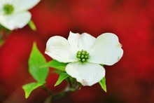 White Dogwood (cornus) Flower In The Spring