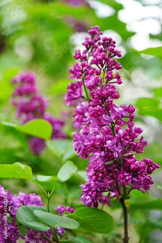 Fotobehang Lilac Purple flower clusters of fragrant lilac (syringa)