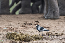 Blacksmith Lapwing And African Elephant Herd
