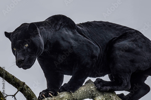 Canvas Prints Puma Black Panther