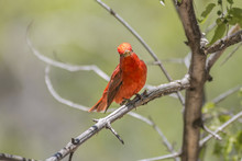 Summer Tanager In A Tree