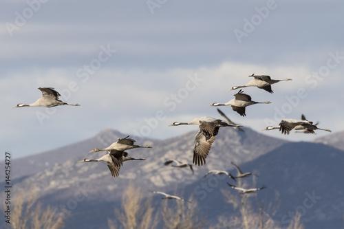 Photo Grullas volando sobre Gallocanta