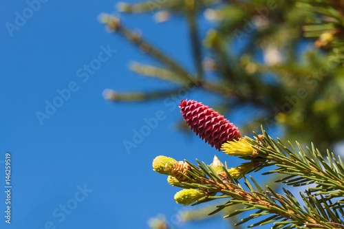 branches of flowering spruce with red cones in spring forest