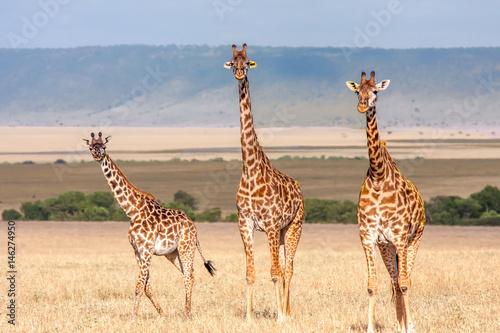 Photo  Giraffe Family