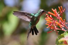 Cuban Emerald Hummingbird , Ch...
