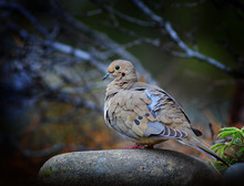 Mourning Dove On A Rock
