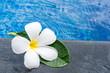 Plumeria flowers frangipani in water pool