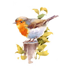 Watercolor Bird Robin Hand Drawn Illustration Isolated On White Background
