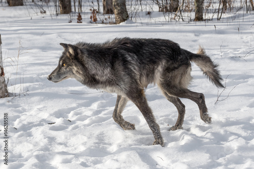 Fotografering  Black Phase Grey Wolf (Canis lupus) Runs Left