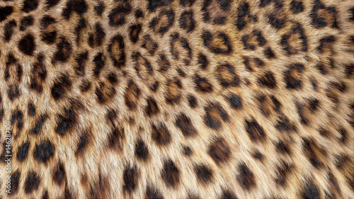 Fotografía Beautiful leopard fur blowing on the wind, luxury abstract natural texture, close up macro shot of animal hair