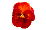 Red Pansy on White Background