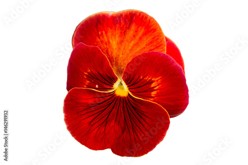Fotobehang Pansies Red Pansy on White Background