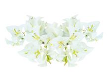 White Bougainvillea Flowers Is...