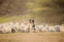 Border Collie Front Of Herd Of...