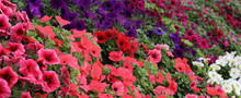 Red And Multicolored PETUNIA F...