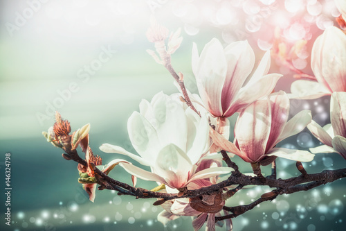 Poster Magnolia Amazing magnolia blossom with bokeh light, springtime nature background, floral border, front view, outdoor nature in garden or park. Floral border