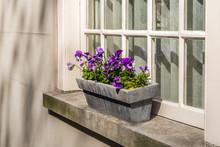 Purple Flowering Violas Growin...