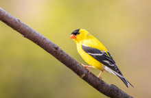 American Goldfinch (Spinus Tri...