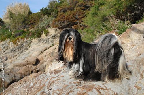 Obraz Portrait of lhasa apso dog - fototapety do salonu
