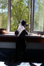 Black Dog Looking Out The Window