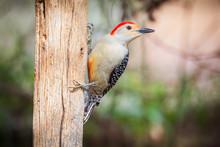 Male Red-bellied Woodpecker (M...