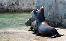 Male California Sea Lions Figh...