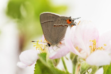 Beautiful, Tiny, Gray Hairstreak Butterfly Pollinating An Apple Blossom In Early Spring