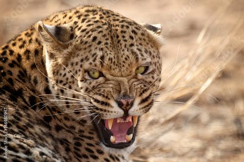 Deurstickers Luipaard Leopard, Naankuse, Namibia