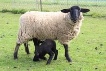 Suffolk Sheep Feeding Lamb
