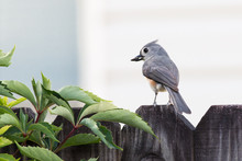 Tufted Titmouse Bird Eating Se...